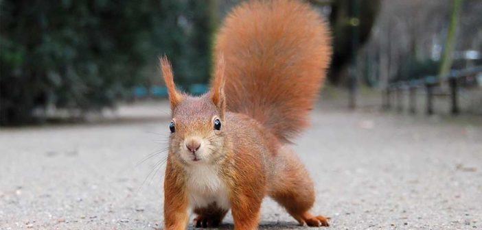 Großbritannien: Lepra dezimiert Eichhörnchen